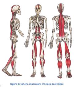 catena-muscolare
