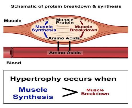 Fig.2 Schema dell'ipertrofia del miocita